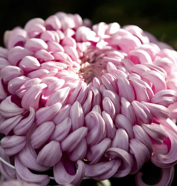 Chrysanthemum Tattoo Meaning - Kiku